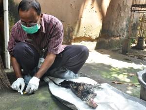 Seorang petugas Disnakkan Boyolali saat memeriksa kondisi ayam warga yang mati. (Foto: Zaenal Huda)