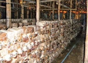 perajin jamur