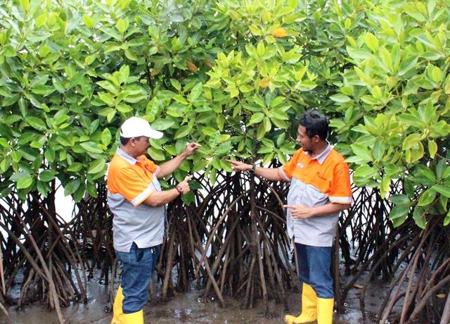 tanam-mangrove-3
