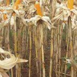 Turut Meningkatkan Taraf Kesejahteraan Petani Jagung